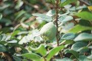 薜荔。起步不久,葉曉文就發現有薜荔長於石屎路旁,薜荔為攀援灌木,小小的嫩葉緊附石屎牆上生長,較成熟的枝葉則與其他植物相纏,青色小果子隱於其中,此植物最早的文學描述見於《楚辭》中的《九歌‧山鬼》篇,「披薜荔兮帶女蘿」,就是屈原描寫山中女神的衣着——以薜荔的葉子做衣服,以地衣松蘿做腰帶。此外,有人用薜荔的果實做白涼粉,台灣飲品及甜品中的愛玉是其變種。