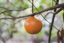 山橙。大休後重新上路,見有個「大橙」懸在路邊,相當吸引。葉曉文說這個「大橙」原來有毒,是夾竹桃科橙屬植物,而夾竹桃科多為有毒。山橙俗名是馬騮籐,對猴子無害,是其果糧。上山還是不要跟野生動物搶食了。