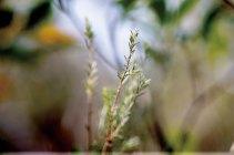 崗松。由上山到下山,沿路都總會看到長至及腰的崗松。崗松是桃金娘科,生於向陽山坡,葉呈針狀,彷如松葉,葉曉文教記者用手指抿了一點枝葉,用指尖搓揉,頓時香氣四溢,聞着叫人上癮。崗松又稱「白花油草」,名副其實會開出白色五瓣小花。從前人們真的會用來製成藥油,但不是市面上的那種「白花油」。