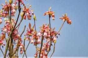 吊鐘花。吊鐘花英文為Chinese New Year Flower,名副其實是年花,通常於一月至三月開花,但近年花期大亂,有的地方甚至十二月已開花。吊鐘花形如其名,花冠到花尖的顏色,由桃紅漸變至白,嬌嫩欲滴。以前香港有更多地方可觀賞吊鐘花,但後來不少人折枝作年花,所以變得稀有。