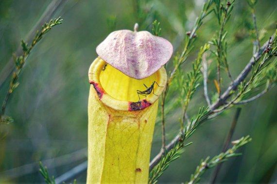 豬籠草。花墟賣的豬籠草都是手指大小,但這山頭上的豬籠草是手臂大小。豬籠草吃蟲,其捕蟲籠有蜜腺,以引誘昆蟲,內裏常有三分之一的消化液,請「蟲」入甕後就可以將之消化,籠頂有蓋以防止雨水進入。原來豬籠草有分雌雄,這次都看到了,雄花花蕊突出;雌花花蕊是保齡球樽形,須授花粉方可繁殖。