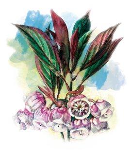 葉曉文畫筆下的香港原生植物──吊鐘花
