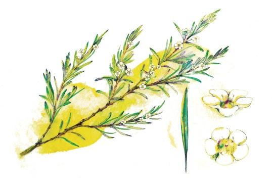 葉曉文畫筆下的香港原生植物──崗松