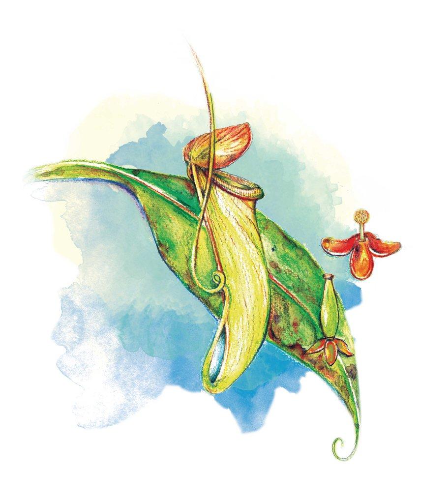 葉曉文畫筆下的香港原生植物──豬籠草